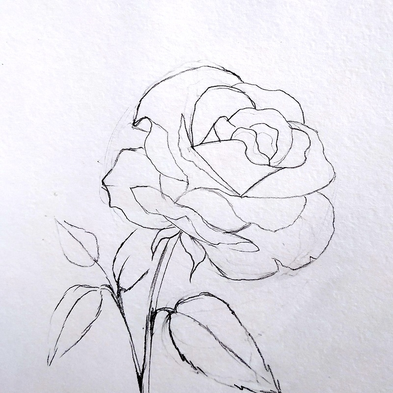 троянда олівцем 5