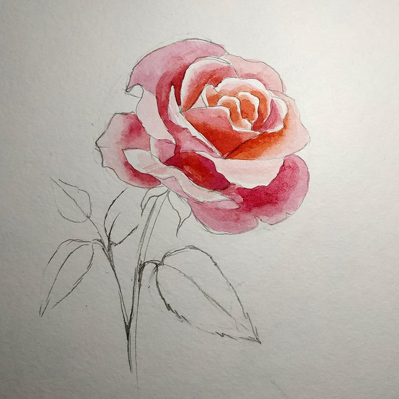 Різні відтінки теплих і холодних тонів на внутрішніх пелюстках троянди